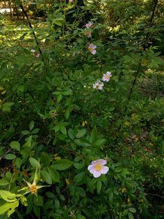 Native Florida swamp rose