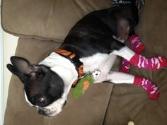 My love fiona with socks!!! Thanks petsmart! (She does not keep them on even though she is cold)