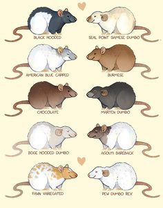 Some rat colors and markings! Prints available here: https://society6.com/skogsmurmeldjur