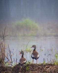 Black bellied whistling ducks at Myakka River State Park