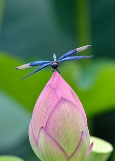 Dragonfly on a lotus blossom.