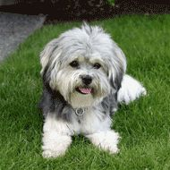 More On Havanese Tattoo Havanese Dogs Welpen Source by elwoodpreece The post Havanese Dogs Welpen appeared first on Elwood Kennels. Havanese Haircuts, Havanese Grooming, Havanese Puppies, Dog Grooming, Havapoo Puppies, Dog Haircuts, Teacup Puppies, Cute Dogs And Puppies, I Love Dogs