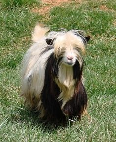 I just love these little guys!!!! Cant wait to have a bit of land so I can have a whole herd!!! Miniature Silky Fainting Goats