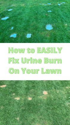 Your dog's urine burns the grass because it contains a high amount of nitrogen. The best way to prevent urine burn is to hose down the spot where your dog pees immediately. Short Dog, Types Of Grass, Spotted Dog, Dog Urine, Dog Pee, Grass Seed, Water Me, Do It Yourself Projects, Diy Dog