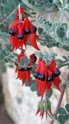 Swainsona formosa (Sturt's Desert Pea) Australian Native Garden, Australian Native Flowers, Australian Plants, Rare Flowers, Wild Flowers, Beautiful Flowers, African Plants, Australian Wildflowers, Native Australians