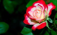 flower pictures for desktop background | Desktop Wallpaper – Desktop Hd Wallpapers
