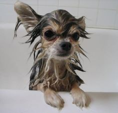 DIY dog shampoo, flea treatment and skunk destinker& . The post DIY dog shampoo, flea treatment and skunk destinker& I& used the skunk des& appeared first on Dogs and Diana. Yorkshire Terrier, Diy Projects For Dog Lovers, Diy Pour Chien, Homemade Dog Shampoo, Puppy Shampoo, Flea Shampoo, Diy Shampoo, Flea Treatment, Diy Stuffed Animals