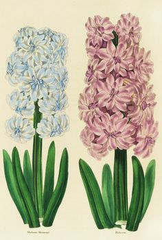 'Hyacinths Madame Mermond and Helicon'. Illustration from the 'Florist's Magazine' - Vol.1, 1836 © The Trustees of the Royal Botanic Gardens, Kew.
