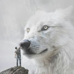 Coming to Peaceful Terms With a Beautiful Giant White Wolf. Venire a patti pacifici con un bellissimo lupo bianco gigante. Giant Animals, Big Animals, Wolf Hybrid, Wolf Spirit Animal, Sunset Images, Wolf Love, Wolf Pictures, Beautiful Wolves, White Wolf
