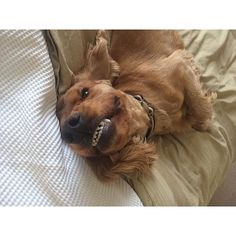 Dental problems can affect more than just your pet's teeth. Learn more. (Photo Credit: goldencockerjack)