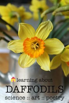 Learning about daffodils