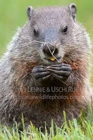 what does a groundhog paw look like - Google Search