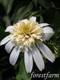 Forestfarm Black Eyed Susan, Plant Nursery, Summer Garden, Garden Planning, Perennials, Garden Design, Daisy, Bloom, Joy
