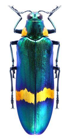 Megaloxantha bicolor luzonica