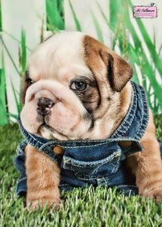 Bulldog in overalls!!!
