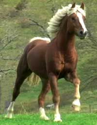 JUBILEE KINGDOM  CHESTNUT RUANO  With white mane & tail