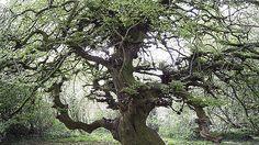 """Jardin du museaum d'histoire naturelle. Paris. Fagus sylvatica var. tortuosa  [Photo Wikimedia commons].  Fagus est le nom latin du hêtre, il a donné les noms """"fau"""", """"fayet"""", """"fayard"""" qui désignaient cet arbre en ancien français.  Fagus vient du grec'phagein' : manger."""