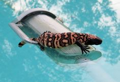 What do you do if you find a Gila monster in your swimming pool? Only in Arizona...