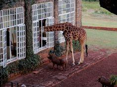 From a window of my room, Giraffe Manor
