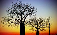 Boab Trees - Western Australia..beautiful silhouettes and colours. Sigh! Le Baobab, Baobab Tree, How Beautiful, Beautiful World, Acrilic Paintings, Aboriginal Art, Western Australia, Botanical Illustration, Amazing Nature