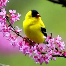 The American Gold Finch is a bird that frequently visits our bird feeders. Use the Finch model of our Squirrel Buster feeders to attract these curious little yellow birds.