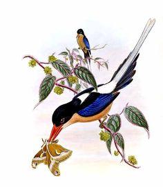 Martin-chasseur sylvain - Tanysiptera sylvia
