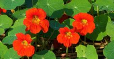 Information about the Garden Nasturtium ( Indian Cress, Monks Cress ) including its habitat, latin name, description, medicinal actions and uses. Learn about the health benefits of Garden Nasturtium. Insecticide Bio, Benefits Of Gardening, Edible Wild Plants, Porch Garden, Vine Leaves, Language Of Flowers, Different Flowers, Edible Flowers, Plant Design