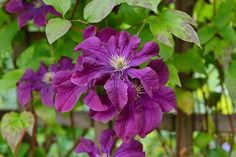 Bred in Clematis 'Etoile Violette' is one of the long-established favorites. This outstanding deciduous vine produces masses of small, nodding, dark violet-purple flowers with a creamy boss of stamens Clematis Plants, Purple Clematis, Clematis Vine, Orchids Garden, Purple Garden, Garden Plants, Small Flowers, Purple Flowers, Portland Garden