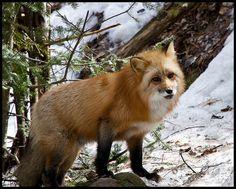 Red fox 3 by Jen St. Louis on Flickr.