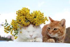 シマカンギク | のせ猫オフィシャルブログ Powered by Ameba