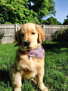 Ray Charles is a blind golden retriever that was rescued from being put down. Click to read his story - it'll melt your heart!