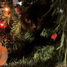 My kitty in the christmas tree. #christmastree #mysillycat #mycat #mycatfromhell #Mysillylittlekitty #sillykitty #Christmas #catinatree #catinachristmastree #cat #lights #christmaslights #ilovemycat