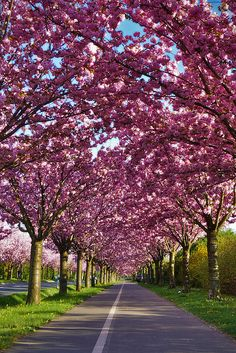Cherry tree in full bloom, Holzweg, Magdeburg, Germany - Will actually be in Germany in the Spring so hopefully see something like this