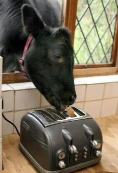 ♥cow steals toast