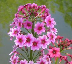 Japanese Candelabra Primrose Primula Japonica Orange