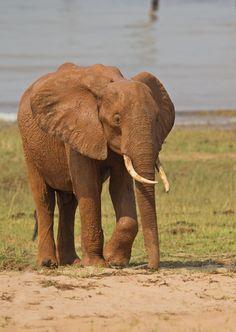 Red Elephant - Matusadona NP, Zimbabwe /  por Ken Watkins en 500px Mud Bath, Game Reserve, Gentle Giant, Zimbabwe, Elephants, Safari, National Parks, Creatures, Big