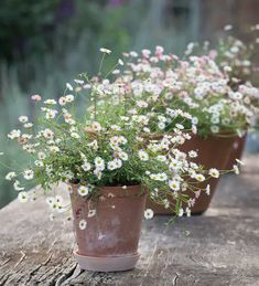 Amazing Gardens, Beautiful Gardens, Beautiful Flowers, Farm Gardens, Small Gardens, Garden Cottage, Garden Pots, Container Plants, Container Gardening