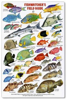 Fishwatchers Reef Field Guide: Fishes of Tropical Atlantic & Caribbean ID Card: 78 species of the most beautiful and commonly seen reef fishes of the Tropical Atlantic, arranged by family. Covers Florida, Bermuda, the Bahamas, and the Caribbean. Sea Creatures, Fantasy Creatures, Fish Chart, Animals And Pets, Cute Animals, Oscar Fish, Aquarium, Rare Birds, Field Guide