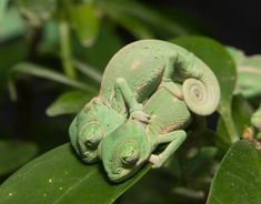 """archiemcphee: """" Because sometimes what you need most is baby chameleons, lots of impossibly cute baby chameleons. Head over to Bored Panda for even more photos of baby chameleons doing what they do. Chameleon Pet, Veiled Chameleon, Cute Funny Animals, Cute Baby Animals, Animals And Pets, Cute Reptiles, Reptiles And Amphibians, Cute Lizard, Cute Creatures"""