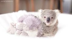 Warning: This Is the Cutest Baby Koala Video You've Even Seen
