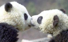 pandas need love too