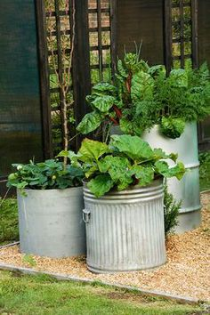 RE-CYCLED CONTAINERS. DUSTBIN PLANTED WITH RHUBARB, OIL DRUM PLANTED WITH RUBY CHARD, ONIONS AND CARROTS.
