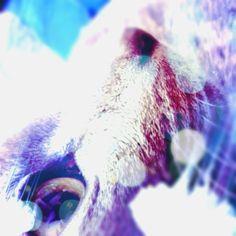 A strange take on the Russian blue #russianblue #cameran #cameranapp @2mutter-