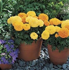Marigold Seeds African Inca II Mix Annual Seed * See this great product.