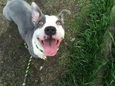 Gretchen #adoptable at CACC Adoptable pets on Facebook in #Chicago