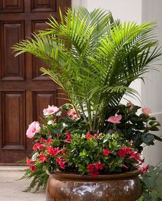 """Versatile Majesty Palms We love to use inexpensive Majesty palms everywhere -- in rooms that need a little life and on patios and porches. It makes a gorgeous """"thriller"""" plant in a big outdoor container -- with showy Tropic Escape mandevilla and hibiscus surrounding its base. Botanic name: Ravenea rivularis Care tip: Majesty palms like moist soil, but don't allow them to dry out or sit in water."""