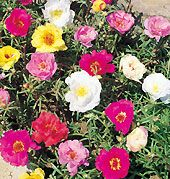 rose moss  High Heat Flowers For Hot Summer Areas - Had these in a rock garden, need to get more!