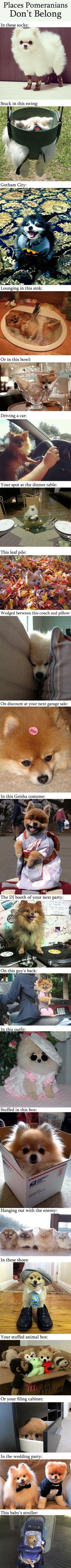 Places Pomeranians don't belong.