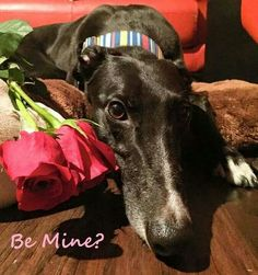 If you have room in your heart for another Valentine, please visit www.galtx.org to see ways you can help and sweet Valentine hounds available for adoption.  #valentines #greyhounds