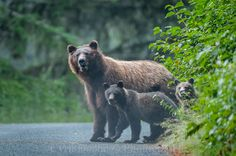 """Grizzly Bear's Family"" by Cyril Doche: Image made during a trip to Alaska in 2013. This female grizzly bear, accompanied by her two cubs crossed the road in order to access the salmon river"